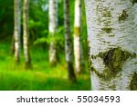 Birch Forest. Betula Pendula ...