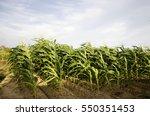 Motion Of Leaf Of Corn...
