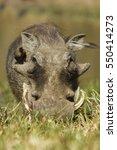 Warthog Facing Camera In The...