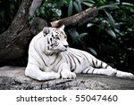 A View Of A White Tiger...