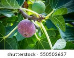Small photo of Dripping ripe fig on the tree, close up, soft focus