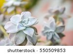 close up of succulent plant | Shutterstock . vector #550509853