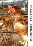 hen in a cage in chicken farm | Shutterstock . vector #550549903