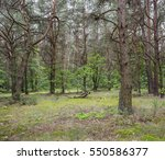 summer in the pine forest | Shutterstock . vector #550586377
