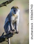 Small photo of Portrait of an African Vervet Monkey - Chlorocebus aethiops - The grivet (Chlorocebus aethiops), also known as African green monkey and savanah monkey