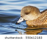 Small photo of Female American Wigeon