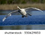 A Mute Swan Glides In For A...