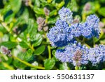 Small photo of Close up of Ceanothus thyrsiflorus wildflowers, California