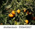 tangerine | Shutterstock . vector #550641817