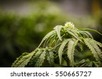 baby cannabis bud | Shutterstock . vector #550665727