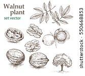walnut plant set. the... | Shutterstock .eps vector #550668853