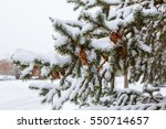 Frozen Pine Branches In The...