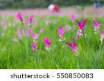 siam tulips are blooming in the ... | Shutterstock . vector #550850083