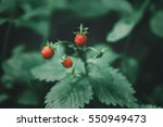 Close Up Of Wild Strawberries