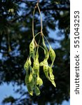 Small photo of Raw Parkia Speciosa (petai, sataw, sator, bitter bean, twisted cluster bean, stinker or stink bean) hanging on its tree.