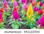 colorful celosia flower in the... | Shutterstock . vector #551122543