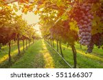 grape harvest    Shutterstock . vector #551166307