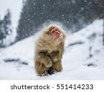 Japanese Macaque Sitting In Th...