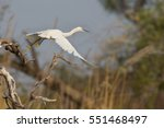Great White Egret  Egretta Alb...