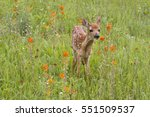 White Tail Fawn In Orange...