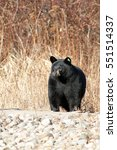 Small photo of Nuisance American black bear with tag in ear