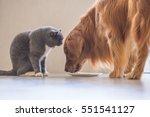 Stock photo golden retriever and british shorthair 551541127