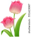 Pink Tulip With Green Leaves...