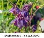 Deep Purple Aquilegia Alpina...