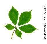 Small photo of American Ginseng leaves (Panax quinquefolius) isolated on a white background.