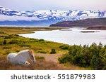 sleek groomed icelandic horse... | Shutterstock . vector #551879983