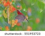 crimson sunbird at krating...   Shutterstock . vector #551953723