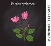 cyclamen  cyclamen persicum  ... | Shutterstock .eps vector #551972557