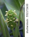 prayer plant  calathea... | Shutterstock . vector #552172633