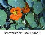 Garden Nasturtium  Tropaeolum...