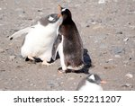 wild penguins resting by the... | Shutterstock . vector #552211207