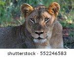 Lioness Resting  Kruger...