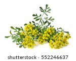 herb of grace flowers and... | Shutterstock . vector #552246637