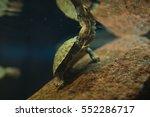 Little Turtle In Aquarium