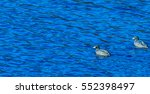 Two American Coot Swimming...
