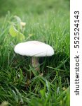 Small photo of Agaricus bitorquis Mushroom aka torq, the banded agaric, spring agaric, or pavement mushroom.