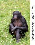 Bonobo Sitting In The Grass