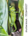 Small photo of Green forest lizard in Ella, Sri Lanka ; specie Calotes calotes family of Agamidae