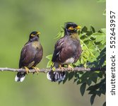 Small photo of Indian mynah in Ella, Sri Lanka ; specie Acridotheres tristis family of Sturnidae