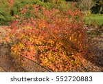 Small photo of Cotinus obovatus (Chittamwood or American Smoketree) in the Arboretum at Rosemoor in Rural Devon, England, UK