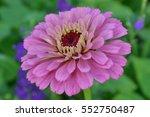 Flower Major. Zinnia Elegans....