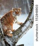 vertical photo of siberian... | Shutterstock . vector #552848803
