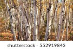 Autumnal Birch Grove Panorama...