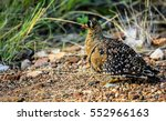 Small photo of Double banded sandgrouse in its natural habitat , Kruger National Park, South Africa