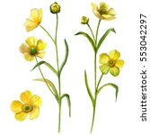 Watercolor Buttercup Flower Se...