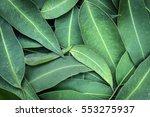 eucalyptus leaves full frame... | Shutterstock . vector #553275937